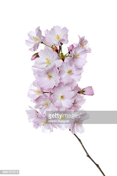 Japanese Cherry (Prunus serrulata).