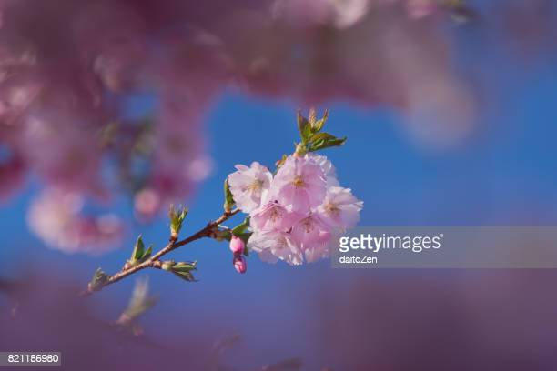 Japanese cherry tree with cherry blossoms, Munich, Germany