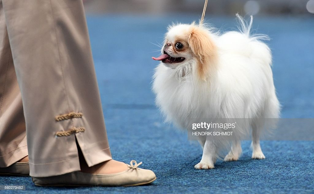 Japanese Chin (Comprehensive Owners Guide)