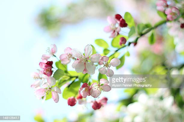 japanese crabapple blossom - alyson fennell stock pictures, royalty-free photos & images