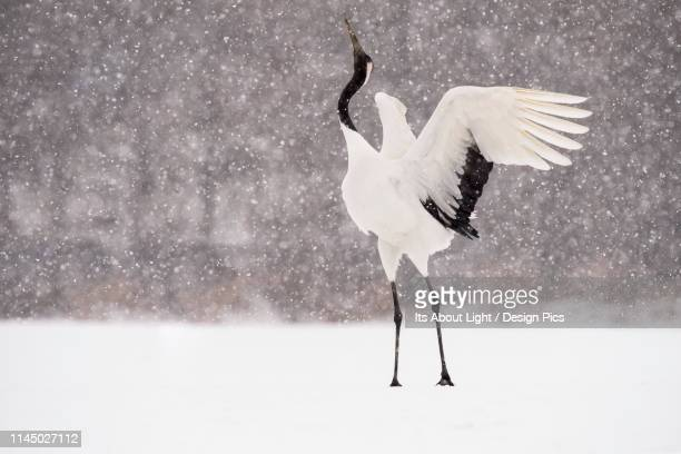japanese crane (grus japonensis) displaying with head in the air during a snowfall - japanese crane stock pictures, royalty-free photos & images