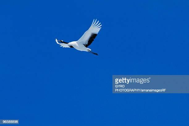 Japanese crane flying in a clear blue sky, Hokkaido, Japan