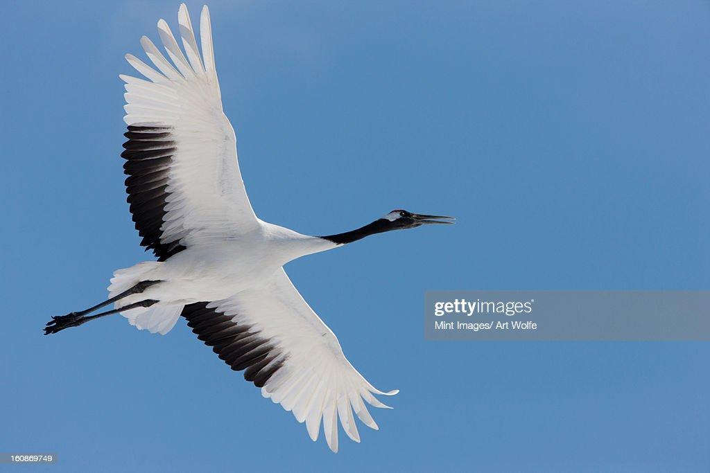 Japanese crane, Hokkaido, Japan : Stock Photo