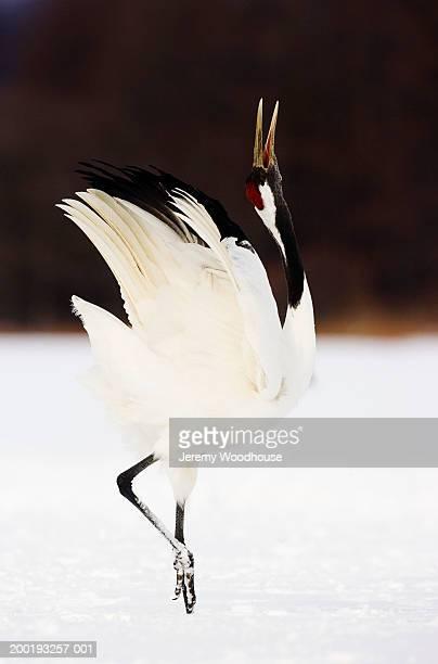 japanese crane (grus japonensis) in courtship display, side view - 一匹 ストックフォトと画像