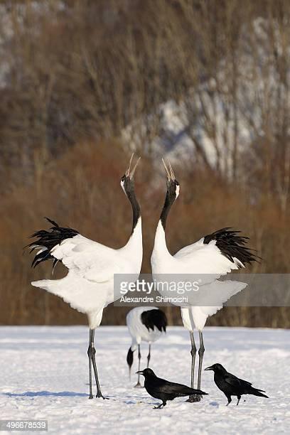 Japanese crane in love duet