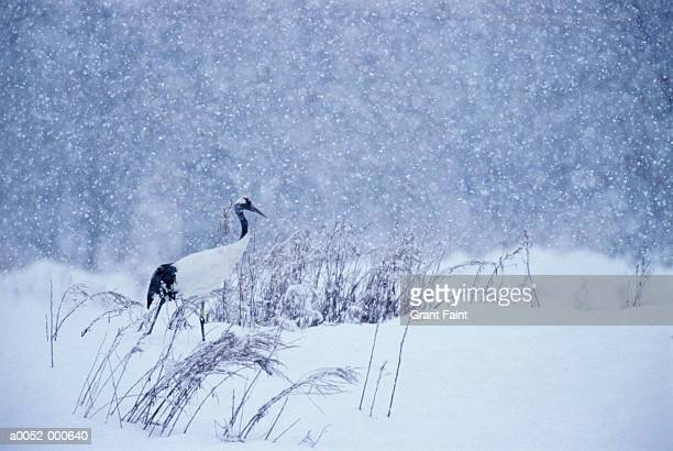 japanese crane in snow - japanese crane stock pictures, royalty-free photos & images