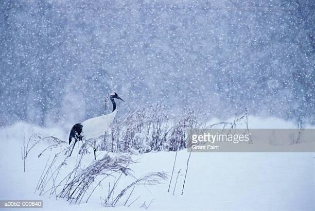 japanese crane in snow - 一匹 ストックフォトと画像