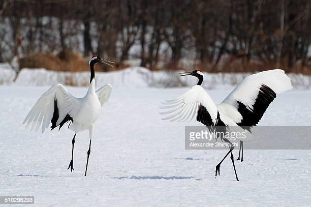 japanese crane (grus japonensis) - japanese crane stock pictures, royalty-free photos & images