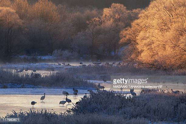 Japanese Cranes at Setsuri-gawa