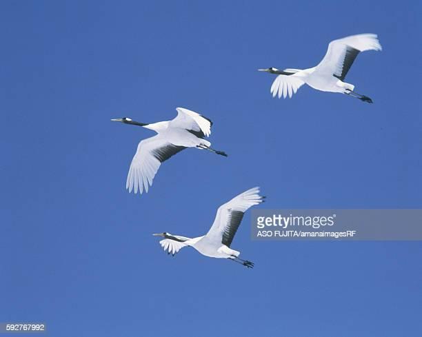 Japanese Cranes flying in blue sky, Tsurui-son, Hokkaido, Japan