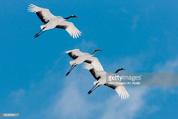 japanese cranes, hokkaido, japan - japanese crane stock pictures, royalty-free photos & images