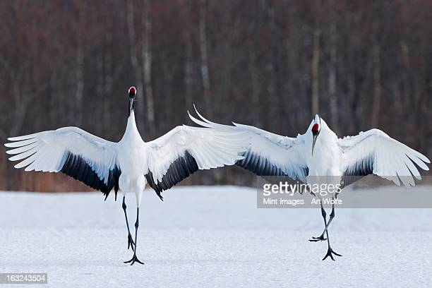 Japanese cranes standing upright, spreading their wings and preening on a frozen lake in Hokkaido, Japan