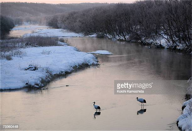 Japanese cranes wade in the shallow water of a river near the village of Tsurui on February 18 2007 in the Akan district of Kushiro Subprefecture...