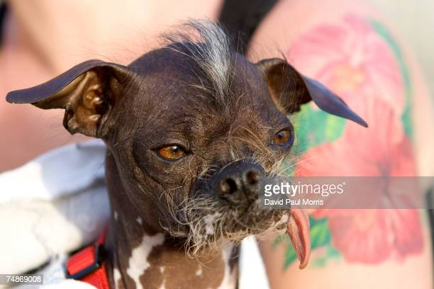 Japanese Crested dog Pee Wee Martini is held by its owner Kristin Maszkiewicz at the 2007 World's Ugliest Dog Contest June 22 2007 in Petaluma...