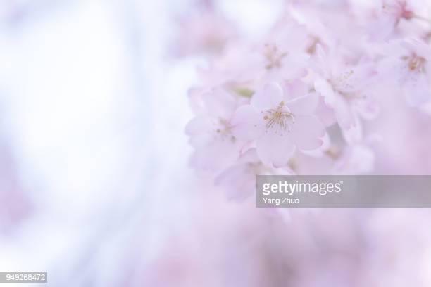 Japanese Culture Sakura