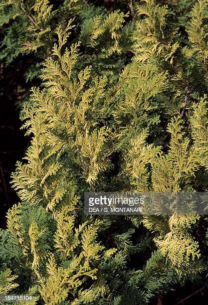 Japanese cypress or Hinoki cypress leaves Cupressaceae