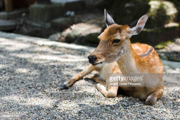 a japanese deer, shika, in an old shinto shrine, park area - schattig stock pictures, royalty-free photos & images