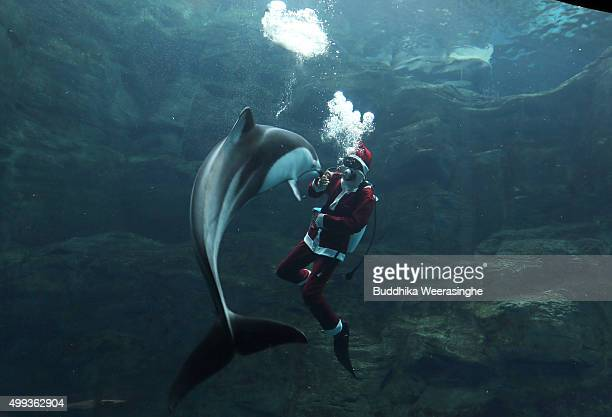 Japanese diver dressed in a Santa Claus costume swims with a dolphin in the Pacific water tank at the Kaiyukan Aquarium on December 1 2015 in Osaka...