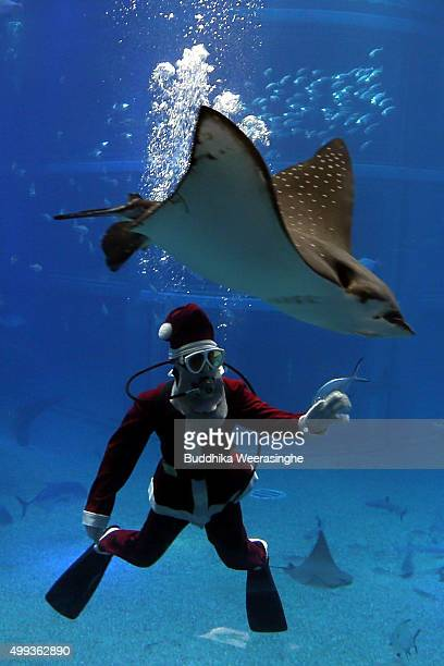 Japanese diver dressed in a Santa Claus costume swims with a Stingray in the Pacific water tank at the Kaiyukan Aquarium on December 1 2015 in Osaka...