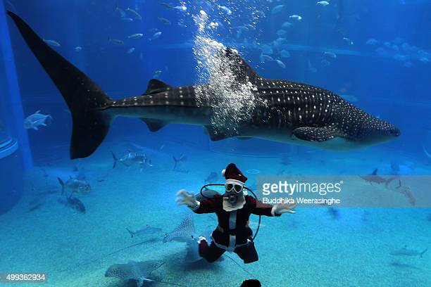 Japanese diver dressed in a Santa Claus costume swims with a Whale shark in the Pacific water tank at the Kaiyukan Aquarium on December 1 2015 in...
