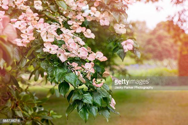 Japanese Dogwood pink flowers