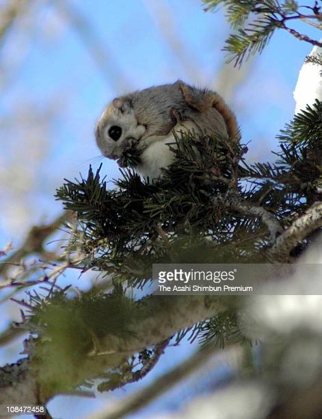 A Japanese dwarf flying squirrel is seen sitting on a branch of a pine tree on February 28 2005 in Rausu Hokkaido Japan