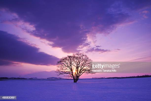 Japanese Elm tree in snow field and morning sky, Japan