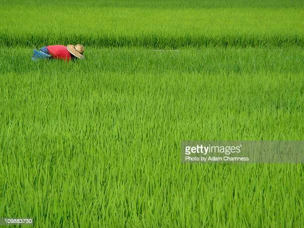 Japanese Farmer in Rice Field
