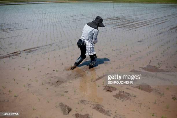 Japanese farmer Toshiko Ogura walks on her paddy after planting seedlings in Kazo city Saitama prefecture on April 20 2018