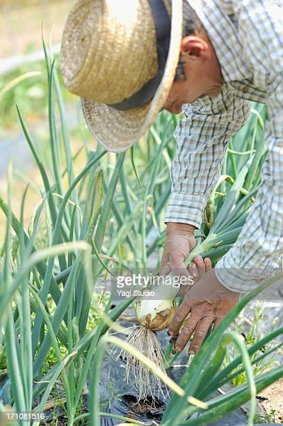 Japanese farmer Working in a field