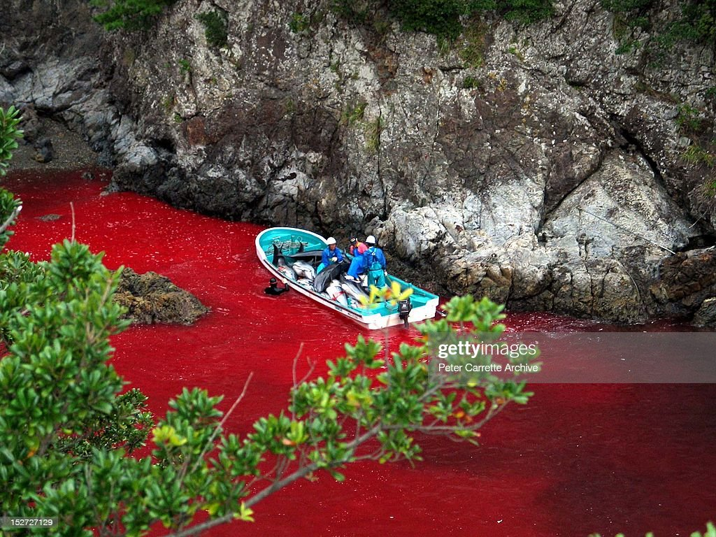 Japanese Fishermen collect the bodies of harpooned Dolphins and Pilot Whales from the bloody waters of a bay in Taiji, Southern Japan on October 29, 2007 seen during a protest organised by David Rastovich, co-founder of Surfers For Cetaceans.