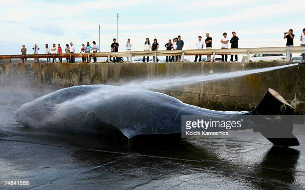 Japanese Fishermen hose down a 995m Baird's Beaked whale at Wada Port on June 21 2007 in Chiba Japan Under the coastal whaling program Japan is only...