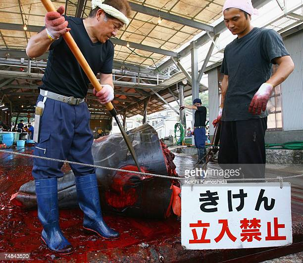 Japanese Fishermen slaughter a 995m Bairds Beaked whale at Wada Port on June 21 2007 in Chiba Japan Under the coastal whaling program Japan is only...