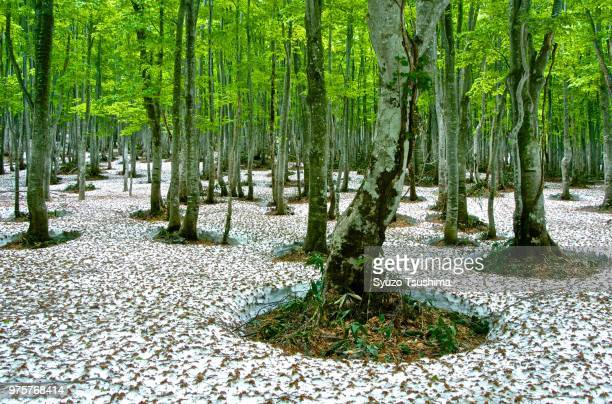 japanese forest and snow on ground, aomori, japan - aomori prefecture stock pictures, royalty-free photos & images