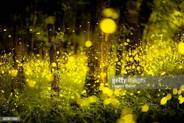 Japanese forest fireflies