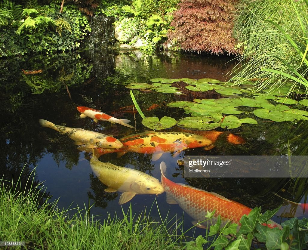 Japanese garden - big kois in the pond : Stockfoto
