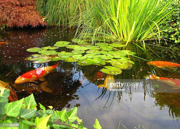 japanese garden - big kois in the pond - water garden stock pictures, royalty-free photos & images