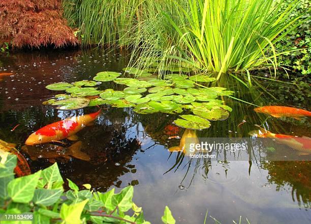 日本庭園-ビッグスネーク kois の池