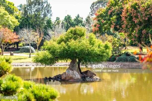 japanese garden in a  public park in toowoomba - karesansui photos et images de collection