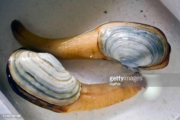 Japanese geoduck kept in water