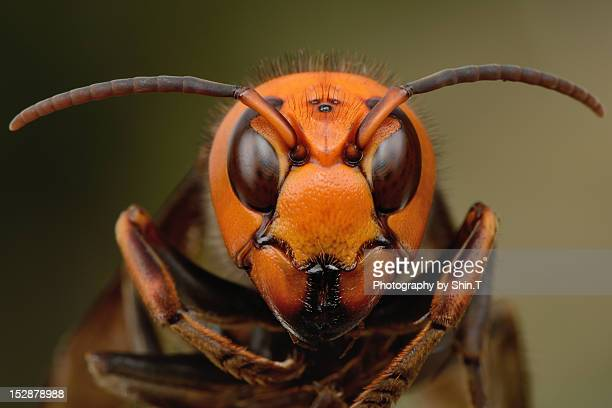 japanese giant hornet - asia stock pictures, royalty-free photos & images