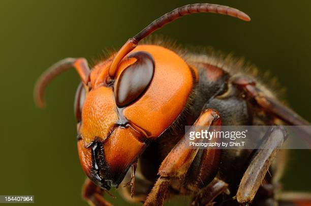 japanese giant hornet - japanese giant hornet stock pictures, royalty-free photos & images