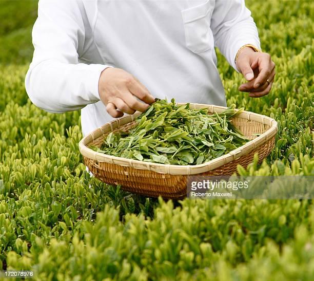 Japanese Green Tea  Leaves