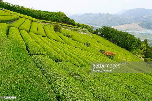 japanese green tea - 静岡県 ストックフォトと画像