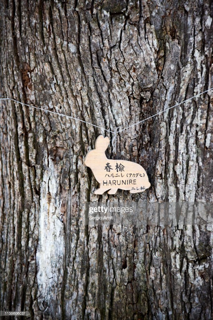 Japanese Harunire Elm tree : Stock Photo