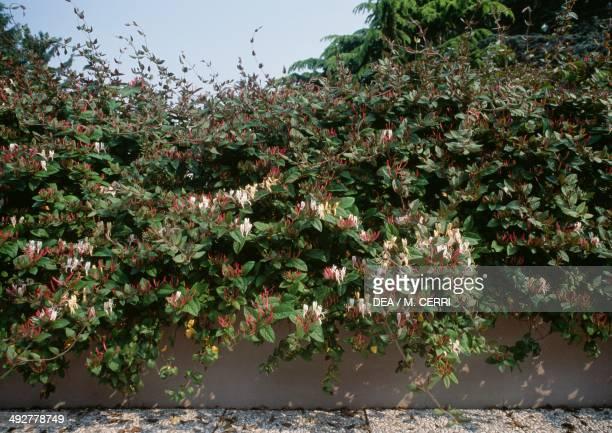 Japanese honeysuckle Caprifoliaceae