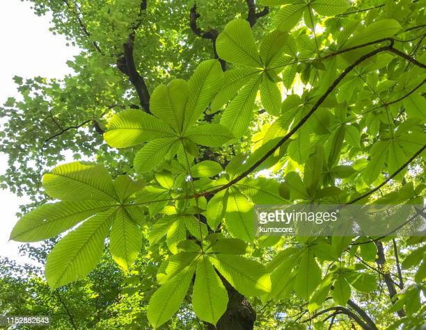 japanese horse chestnut leaf - deciduous tree stock pictures, royalty-free photos & images