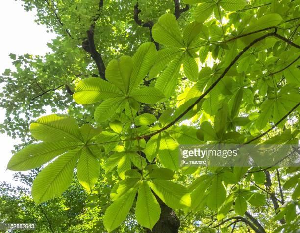 japanese horse chestnut leaf - kastanie laubbaum stock-fotos und bilder