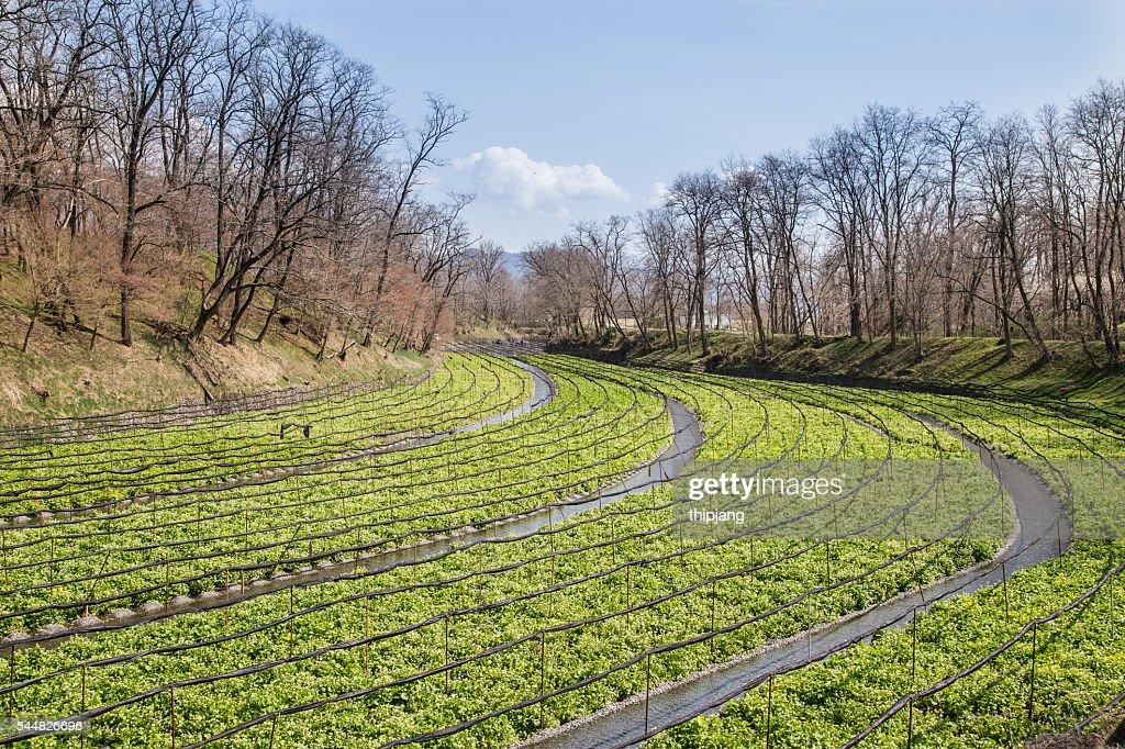Japanese horseradish plants (wasabi), growing at the Daio Wasabi Farm in Hotaka, Nagano, Japan : ストックフォト