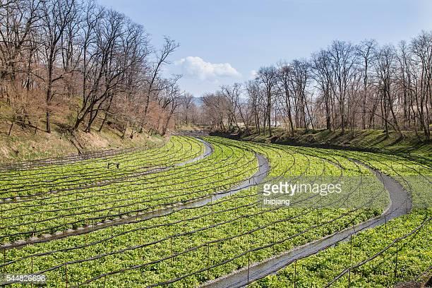 japanese horseradish plants (wasabi), growing at the daio wasabi farm in hotaka, nagano, japan - wasabi stock pictures, royalty-free photos & images